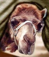 camels-nose1
