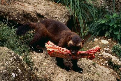 gallery-1433193586-wolverine-tough-animals